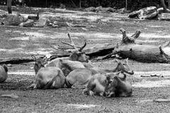 Troupeau de repos de cerfs communs de Père David photo libre de droits