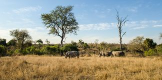 Troupeau de rhinocéros, parc de kruger de rhinocéros, faune de l'Afrique du Sud photo stock