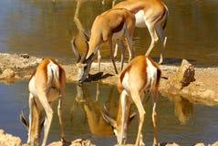 Animaux africains du sud Photo stock