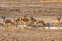 Troupeau de springboks Photographie stock libre de droits