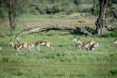 Troupeau de springboks fonctionnant dans l'herbe Image libre de droits
