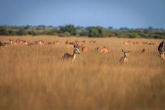 Troupeau de springboks se tenant dans la haute herbe Photos libres de droits