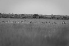 Troupeau de springboks se tenant dans la haute herbe Photo stock