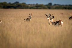 Troupeau de springboks se tenant dans la haute herbe Photographie stock