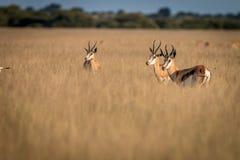 Troupeau de springboks se tenant dans la haute herbe Image stock