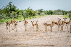 Troupeau de springboks se tenant sur la route Photo libre de droits