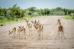 Troupeau de springboks se tenant sur la route Image stock