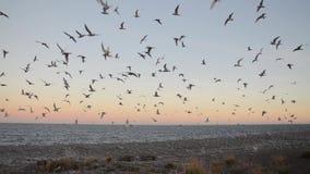 Troupeau de sterne antarctique - vittata de sternums - pendant la saison d'élevage banque de vidéos