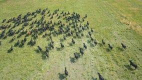Troupeau de taureaux fonctionnant à travers le champ banque de vidéos