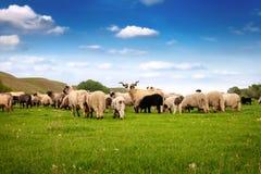 Troupeau de troupeau de points d'entrée et de sortie de sheeps Photos libres de droits