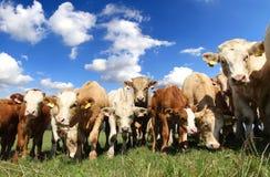 Troupeau de vache image libre de droits