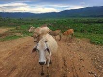 Troupeau de vache dans le pâturage Image libre de droits