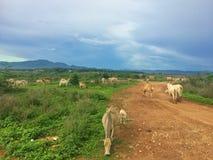 Troupeau de vache dans le pâturage Images libres de droits