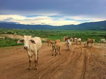 Troupeau de vache dans le pâturage Photos libres de droits