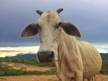 Troupeau de vache dans le pré Photos libres de droits