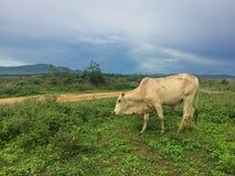 Troupeau de vache dans le pré Image libre de droits