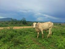 Troupeau de vache dans le pré Photographie stock libre de droits