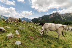 Les vaches de la montagne royalty free stock photos