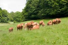 Troupeau de vache du Limousin image libre de droits