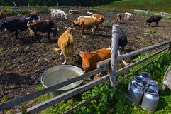 Troupeau de vaches à traite Photo libre de droits