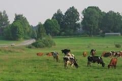 Troupeau de vaches. Photographie stock libre de droits
