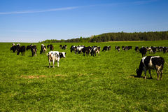 Troupeau de vaches Photos libres de droits