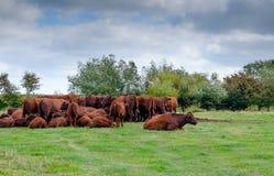 Troupeau de vaches Image stock