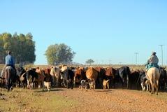 troupeau de vaches Image libre de droits