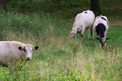 Troupeau de vaches Photographie stock