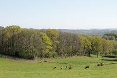 Troupeau de vaches au Limousin, France Images stock