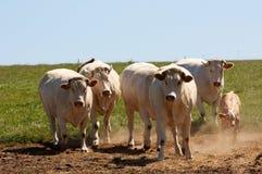 Troupeau de vaches blanches Images libres de droits