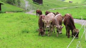 Troupeau de vaches blanches brunes sur un pré Terres cultivables dans le Tirol Autriche clips vidéos