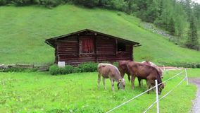 Troupeau de vaches blanches brunes sur un pré Terres cultivables dans le Tirol Autriche banque de vidéos
