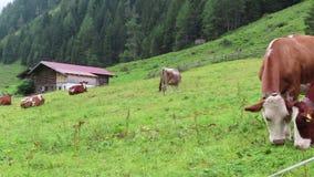 Troupeau de vaches blanches brunes sur un pré Terres cultivables dans le Tirol Autriche Les gens trimardant le long de la vallée  clips vidéos