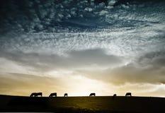 Troupeau de vaches contre le coucher du soleil excessif Photo stock