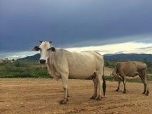 Troupeau de vaches dans le pré Image libre de droits