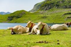 Troupeau de vaches dans les pâturages alpins Photos stock