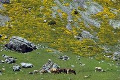 Troupeau de vaches en montagnes de Pyrénées Photos libres de droits