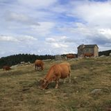 Troupeau de vaches et de carlingue rouges du ` s de berger dans Pyrénées Photo stock