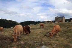 Troupeau de vaches et de carlingue rouges du ` s de berger dans Pyrénées Image libre de droits
