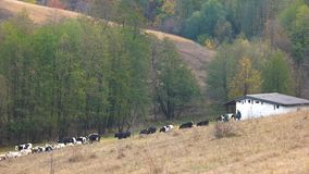 Troupeau de vaches et de chèvres marchant sur le pré clips vidéos