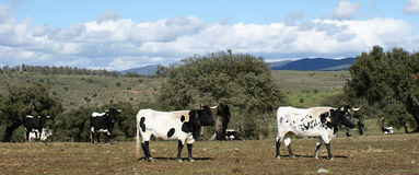 Troupeau de vaches et de taureaux blancs et noirs frôlant entre les chênes Images libres de droits