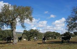 Troupeau de vaches et de taureaux blancs et noirs frôlant entre les chênes Images stock