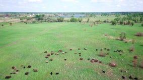 Troupeau de vaches et de moutons sur un pré vert banque de vidéos