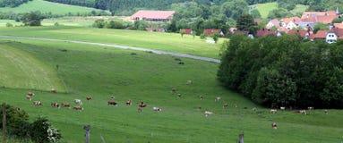 Troupeau de vaches frôlant dans le pré Photo stock