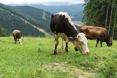 Troupeau de vaches frôlant en montagnes image libre de droits