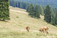 Troupeau de vaches frôlant entre les arbres coniféres Image stock
