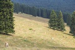 Troupeau de vaches frôlant entre les pins Images stock