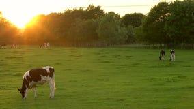 Troupeau de vaches frisonnes frôlant, mangeant l'herbe dans un domaine à une ferme au coucher du soleil ou au lever de soleil banque de vidéos