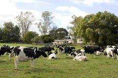 Troupeau de vaches laitières Photographie stock